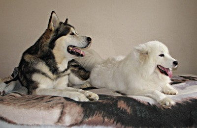 Happy malamute and samoyed - King and Paige + MORE