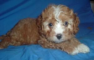 Cavoodle Puppies on Cavoodle Dog Breeder Queensland Australia  Koolaroo Kennels   Lockyer