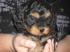 Cavoodle puppies for sale New South Wales / Victoria - OzDoggy
