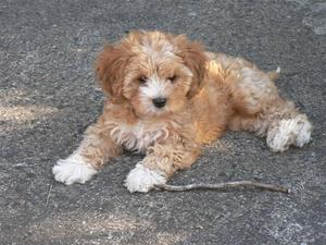 Cavoodle Puppies For Sale New South Wales Victoria Ozdoggy