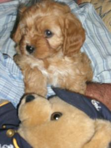 Cavoodle Puppies on Cavoodle Puppies   New South Wales   Ozdoggy