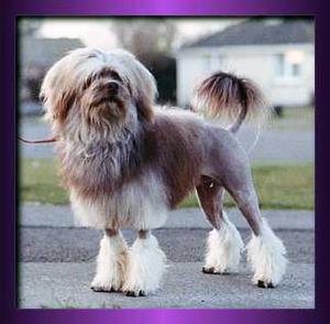 Löwchen dog in Lion cut